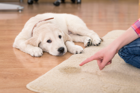 Everclean Carpet Cleaning Service in Erie PA  successfully cleans and removes  pet stains and odors from carpet, furniture and upholstery.